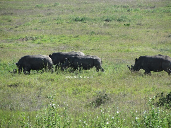 The White Rhinos (Ceratotherium simum)