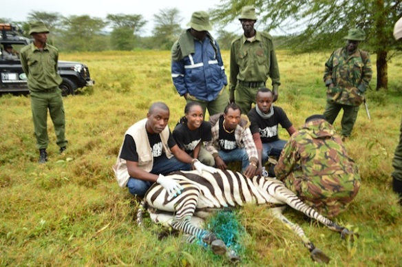 The team with a zebra after the KWS vets cleaned its wounds