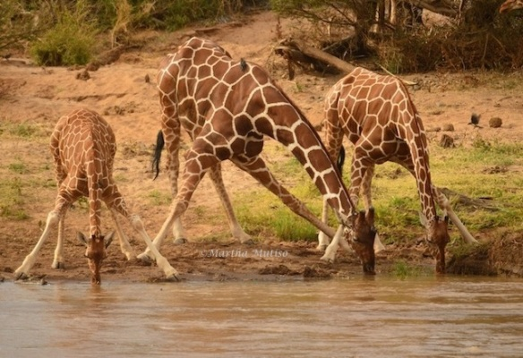 Reticulated Giraffes in Samburu National Reserve. This is why I was excited to witness them drinking water