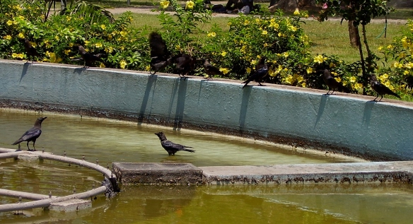 Indian House crows at the water fountain