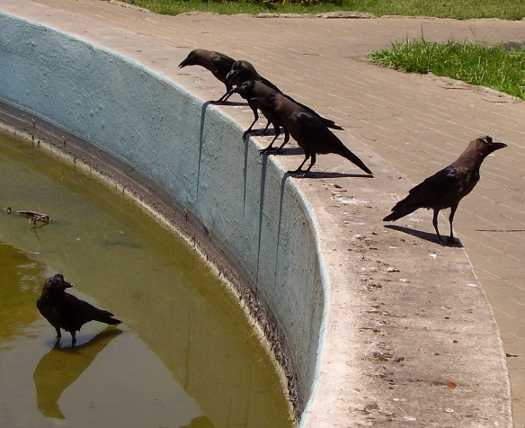The crows decide who goes first